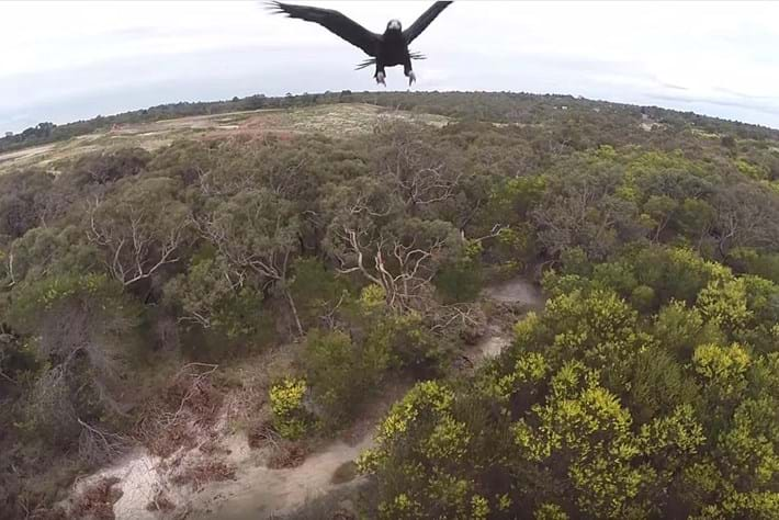 WATCH: Eagle swoops in to smash drone out of the sky