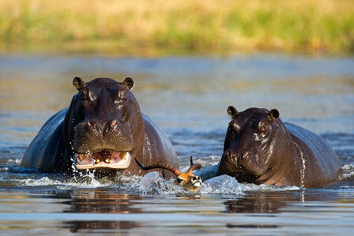 Impala Hippos 2015 08 12