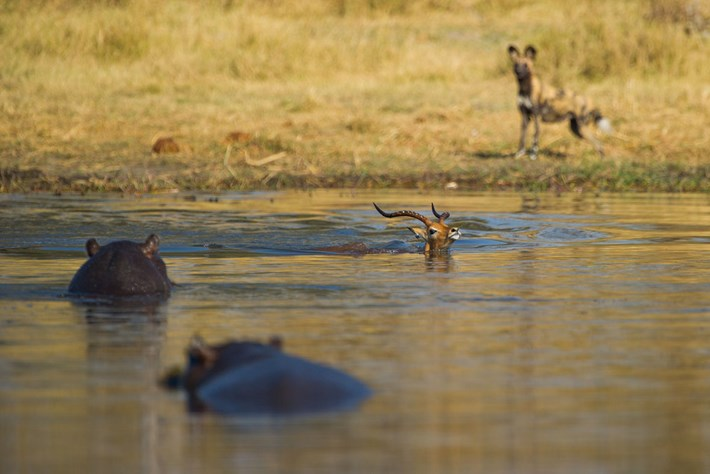 Impala Hippos Wild Dogs 2 2015 08 12