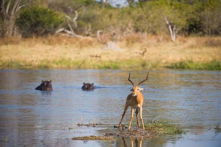 Impala Hippos Wild Dogs 2015 08 12