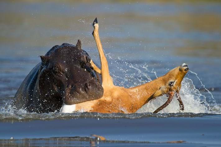 Hippo biting impala 2015-08-12
