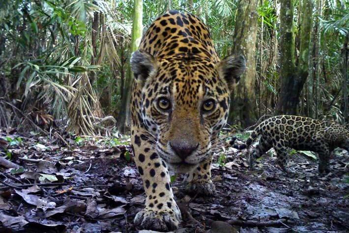 Jaguar Panthera 2015 08 12