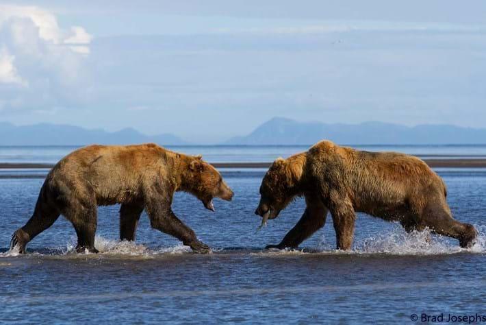 bear fight-1-21015-8-14