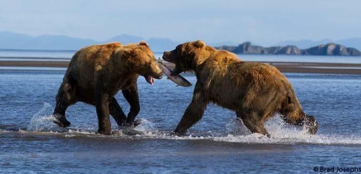 bear fight 2-2015-8-14