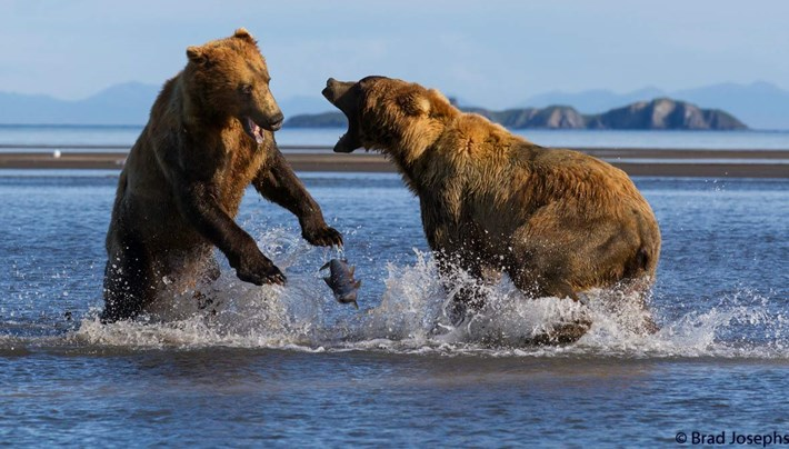 bear fight 3-2015-8-14
