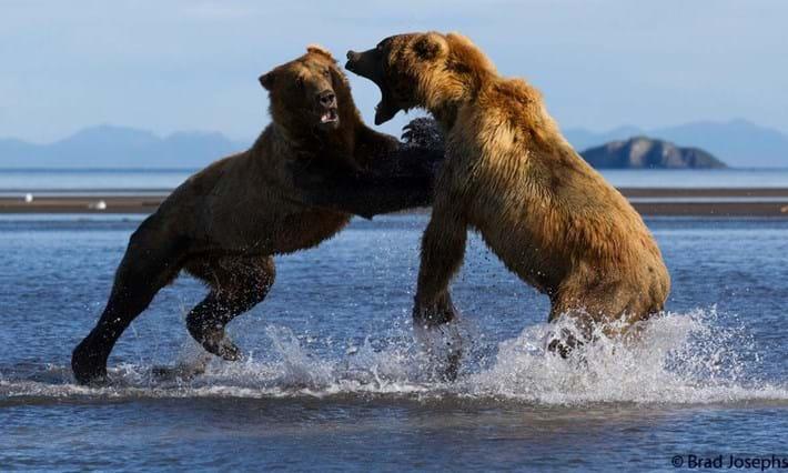 bear fight 5-2015-8-14