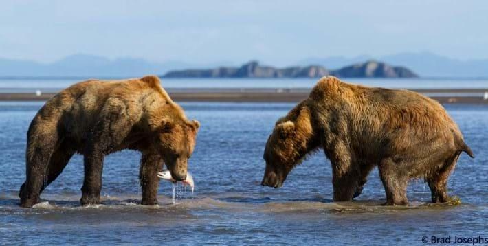 bear fight 8-2015-8-14 (1)