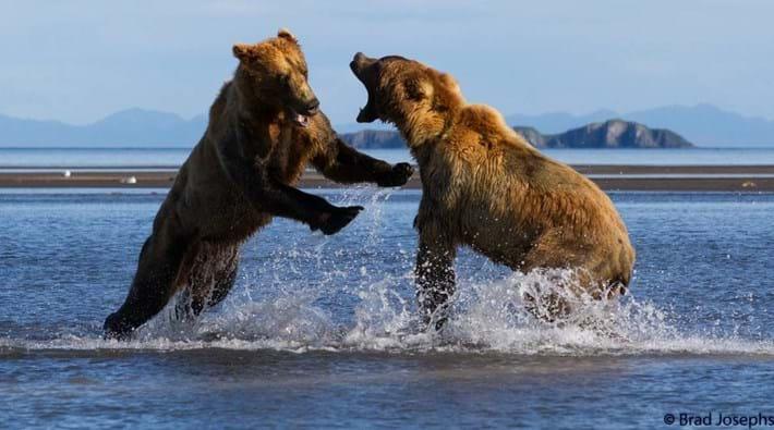 bear fight 4-2015-8-14