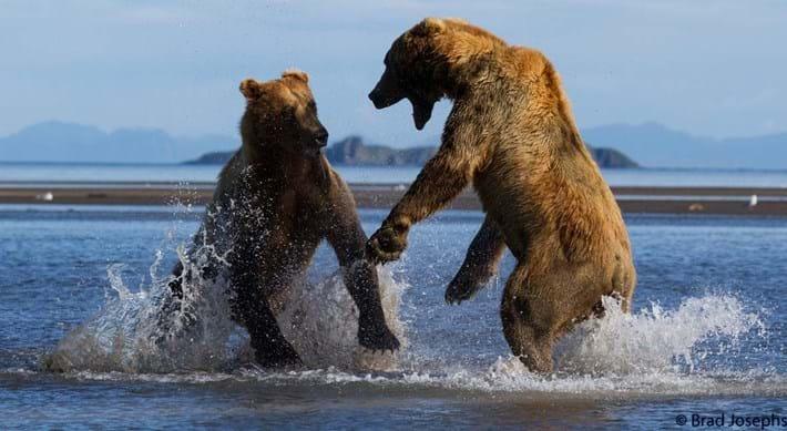 bear fight 6-21015-8-14