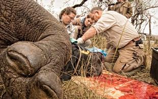 Mutilated rhino treated with innovative bandage made from elephant skin