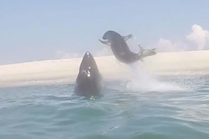 Shark -vs -seal _2015_08_18