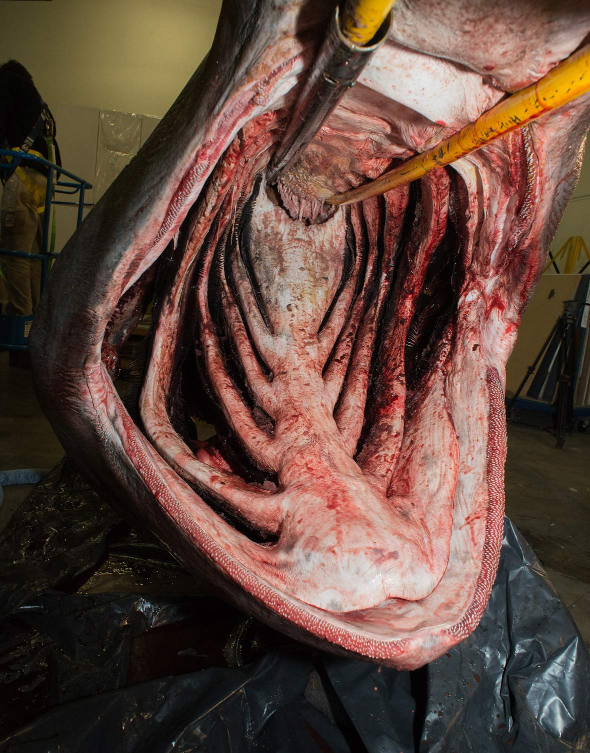 Basking Shark Mouth 48