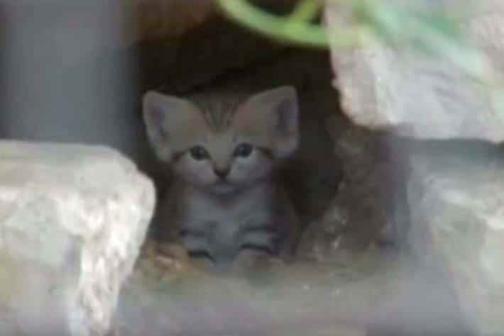 Watch: Rare sand cat kittens born in Israel