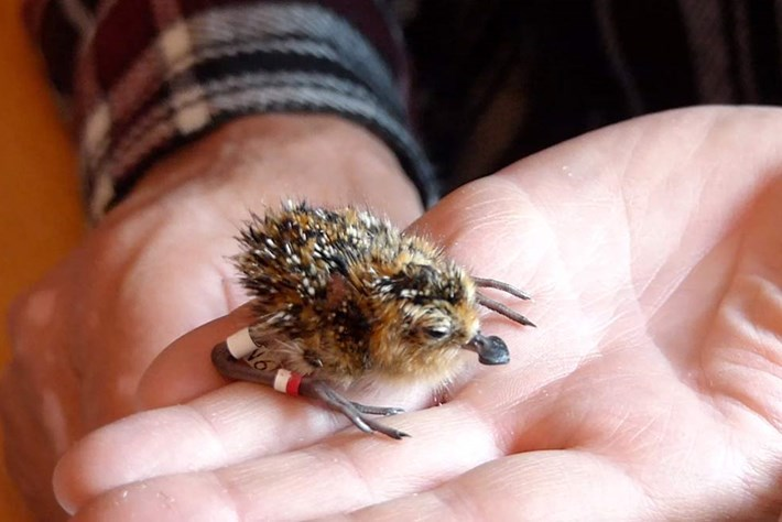 It's good news for the spoon-billed sandpiper, one of the world's rarest birds