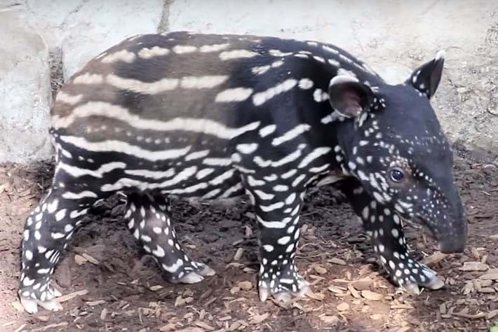 VIDEO: Ever seen a baby Malayan tapir?