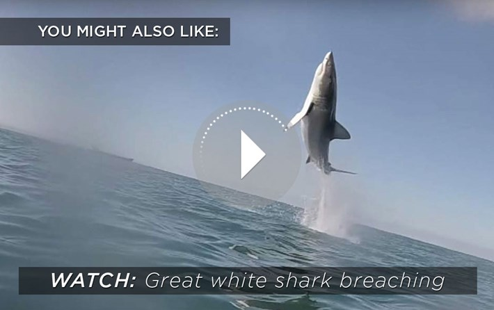 White Shark Breach Related Content 2015 08 28