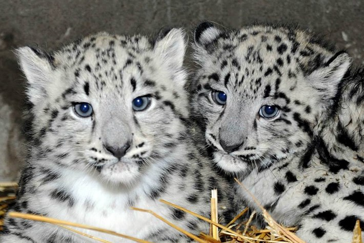 Twin snow leopards born at the Brookfield Zoo