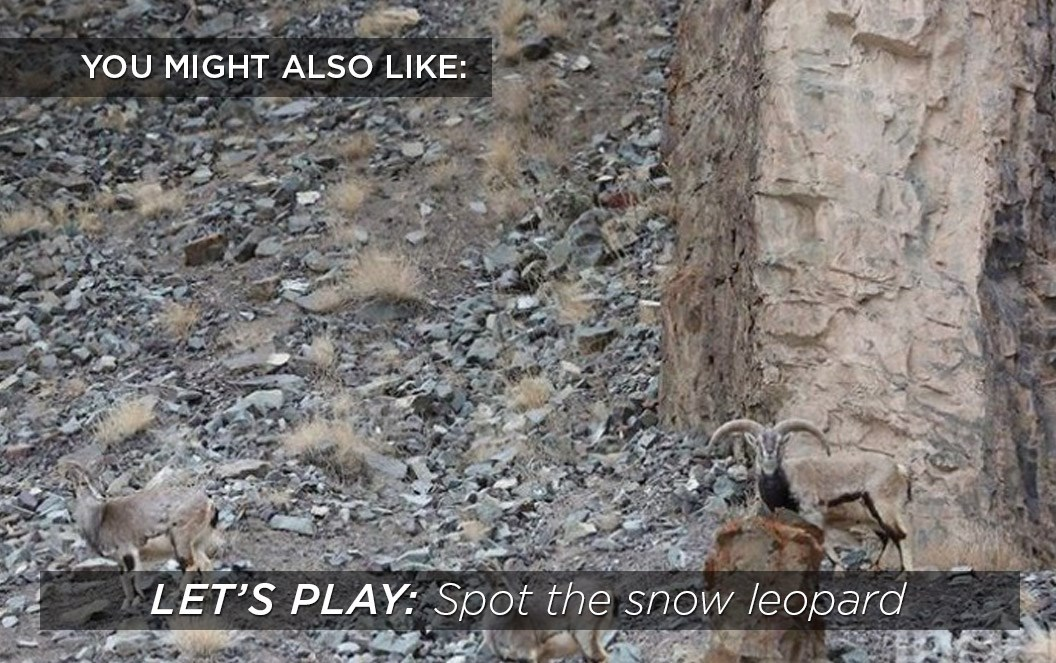 Spot the snow leopard-2015-8-30