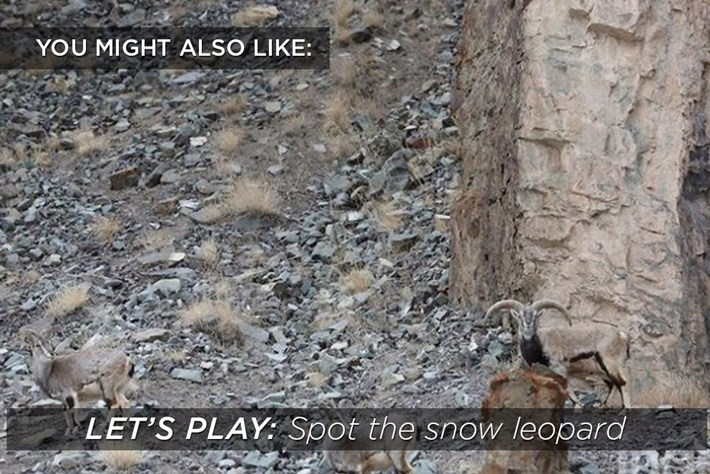 Spot the snow leopard-2015-8-30