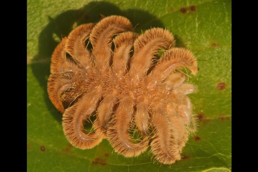 'Monkey slug' caterpillar