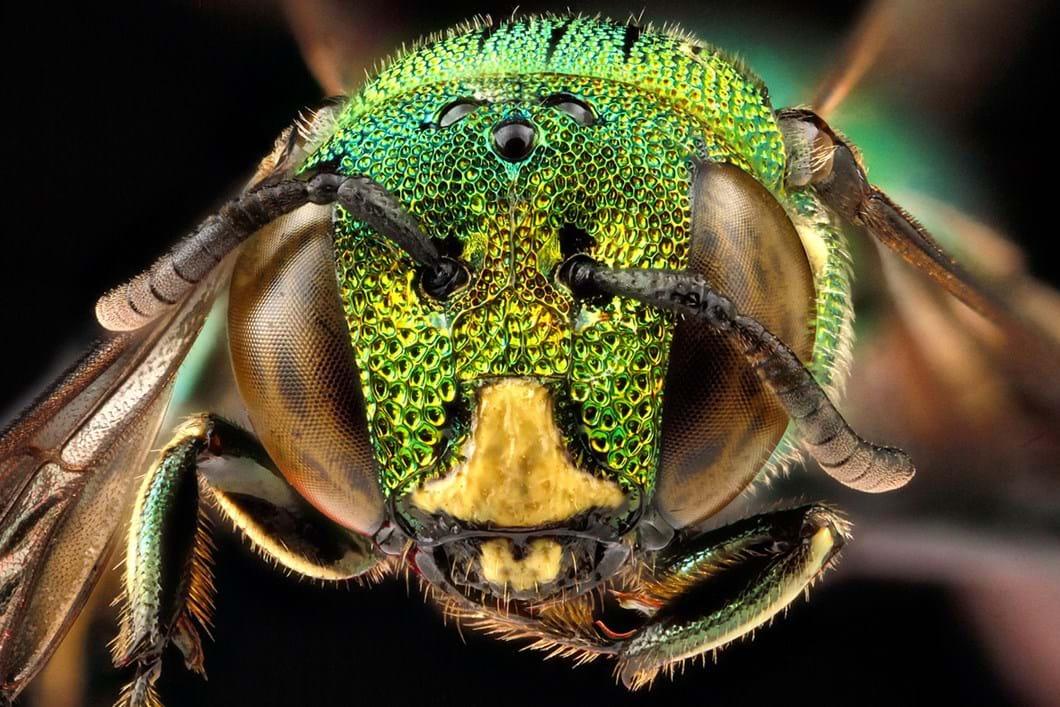 Ceratina smaragdula