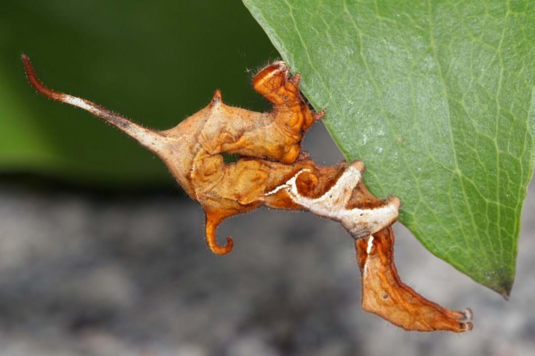 Curve-lined owlet moth caterpillar
