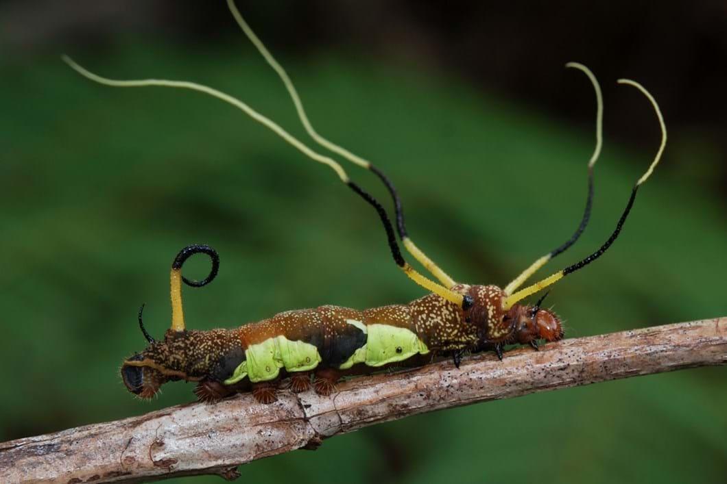 Arsenura caterpillar