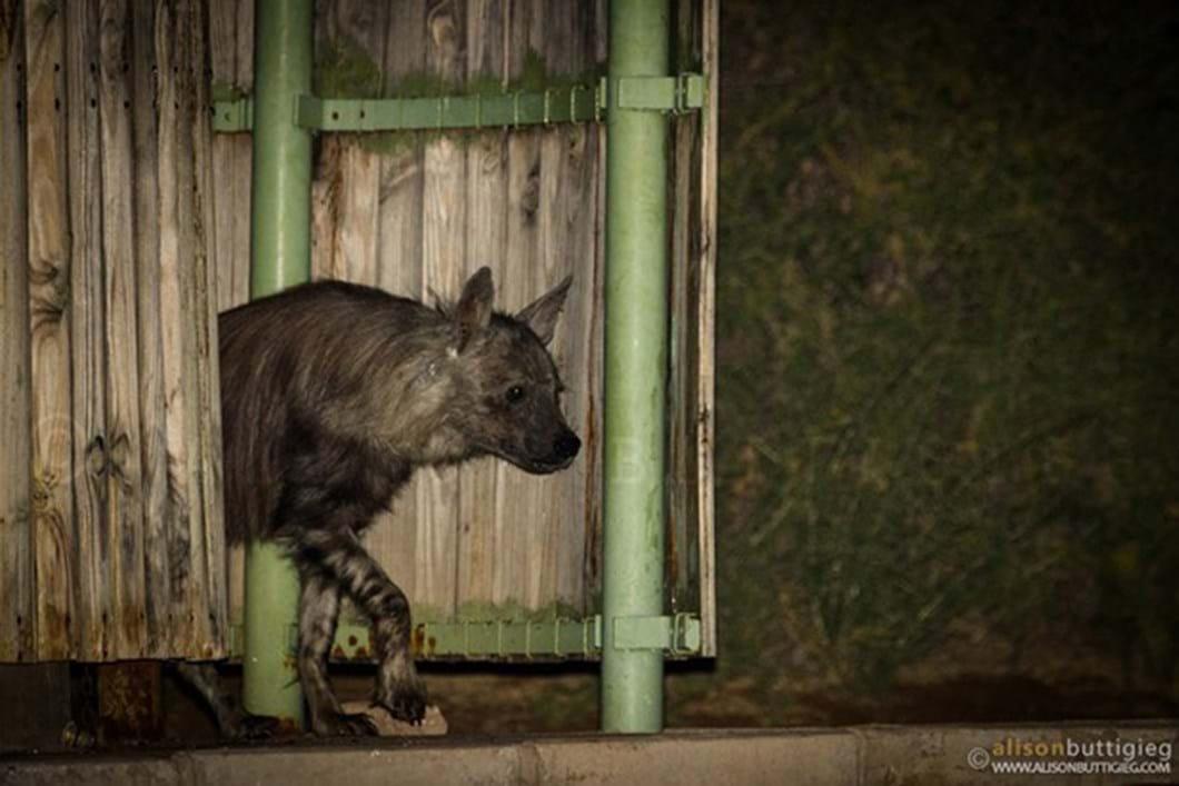 Hyena in campsite shower