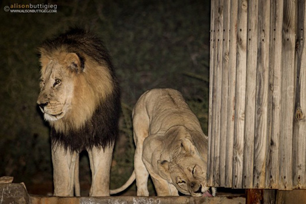 Lions in campsite shower