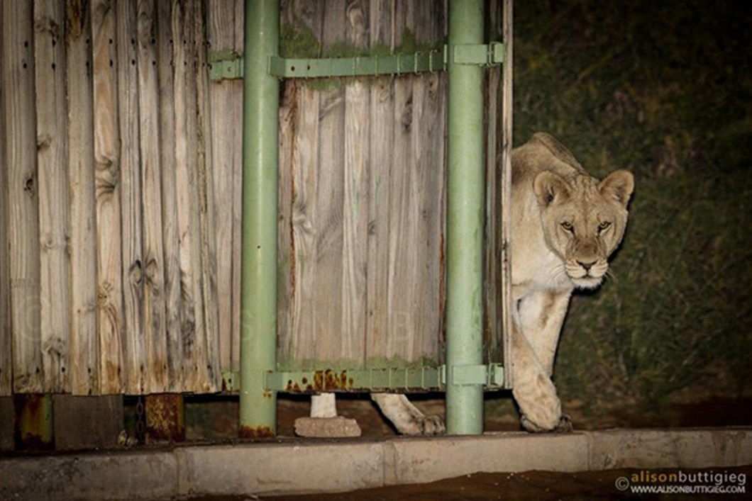 Lions in campsite shower 02