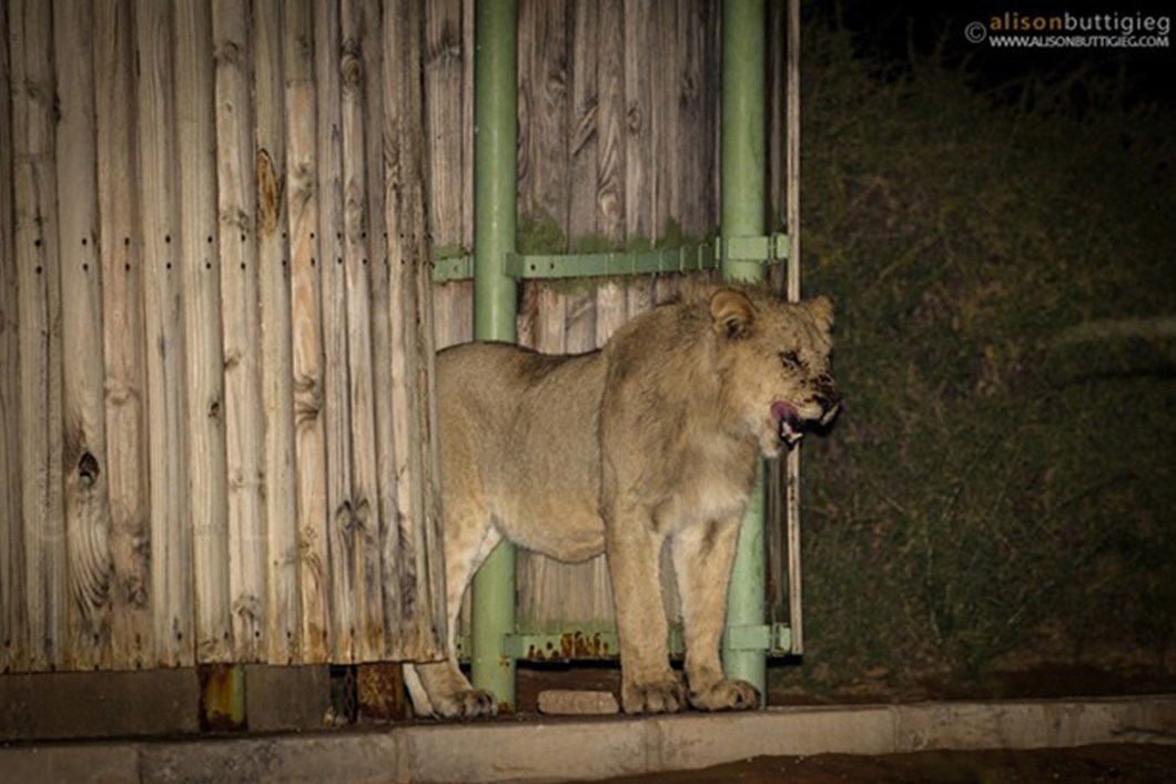 Lions in campsite shower 03