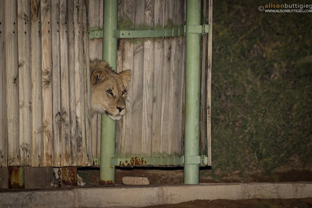 Lions in campsite shower 04