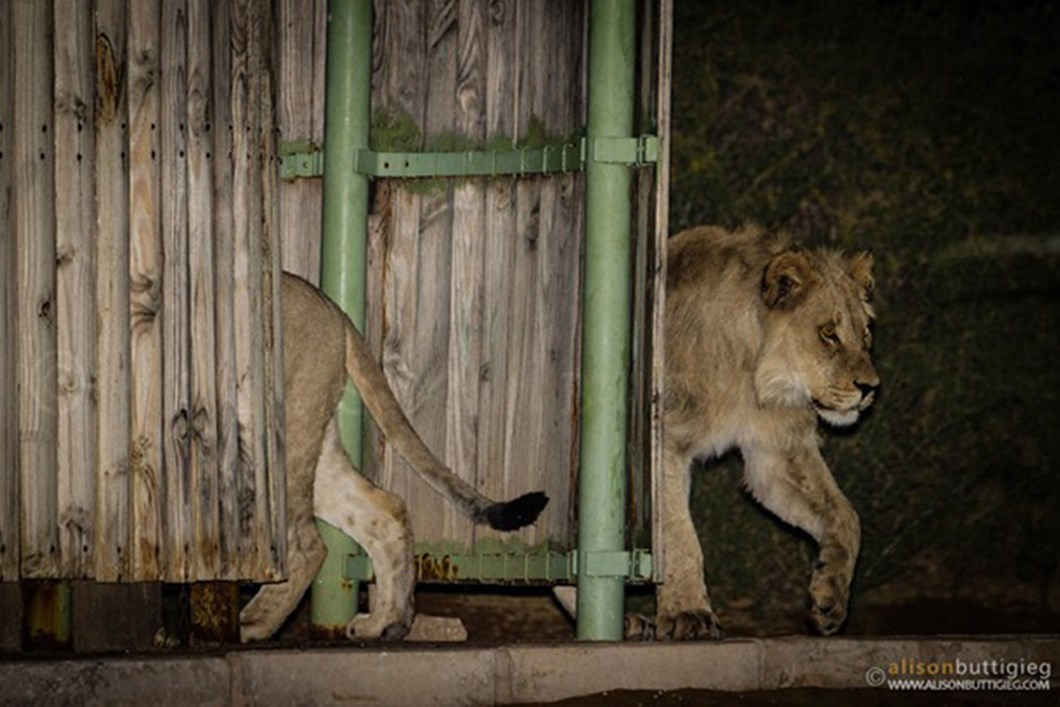Lions in campsite shower 05