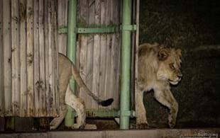 Lions in the Shower