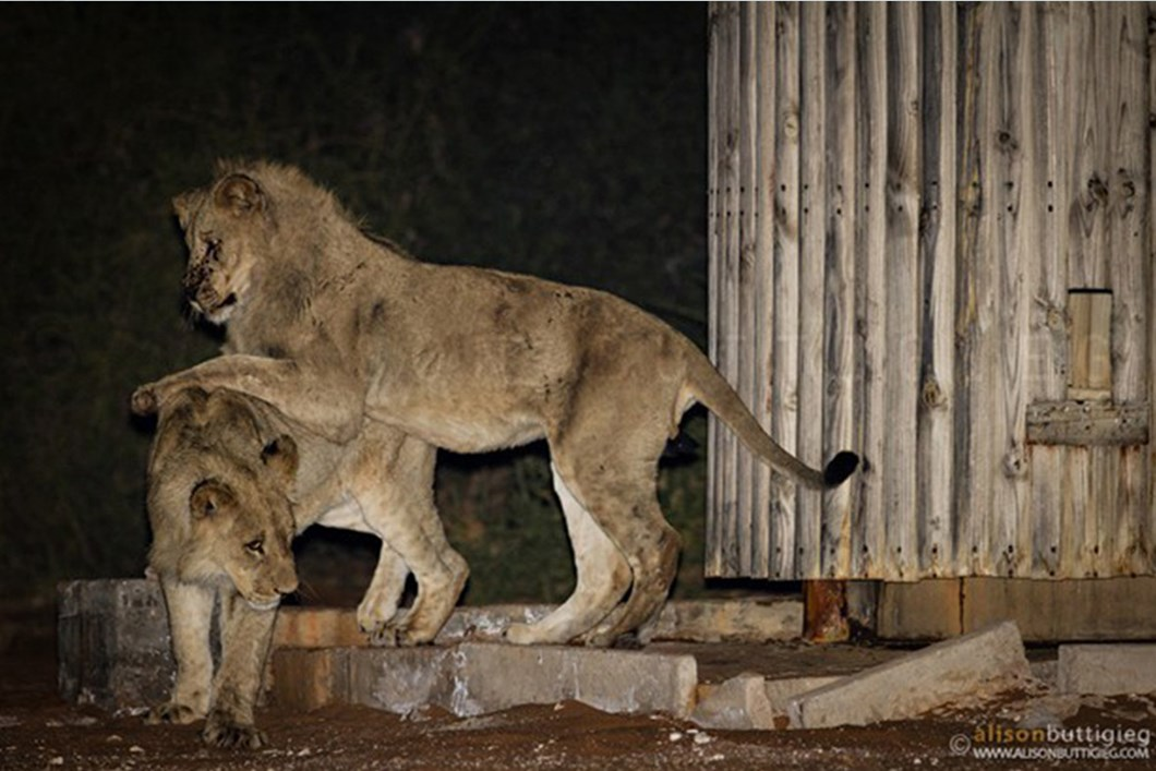 Lions playing in campsite