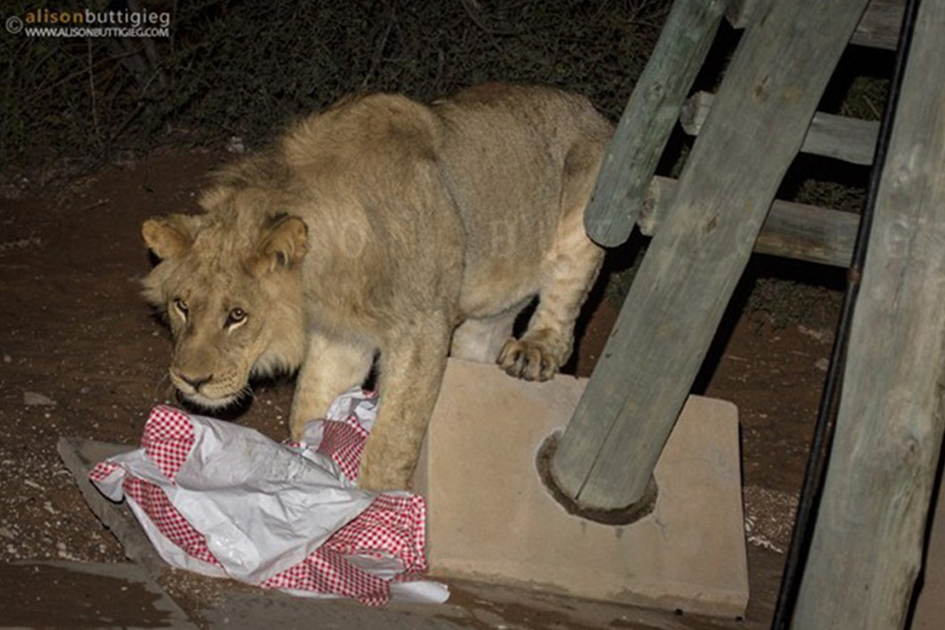 Lion plays with campsite tablecloth