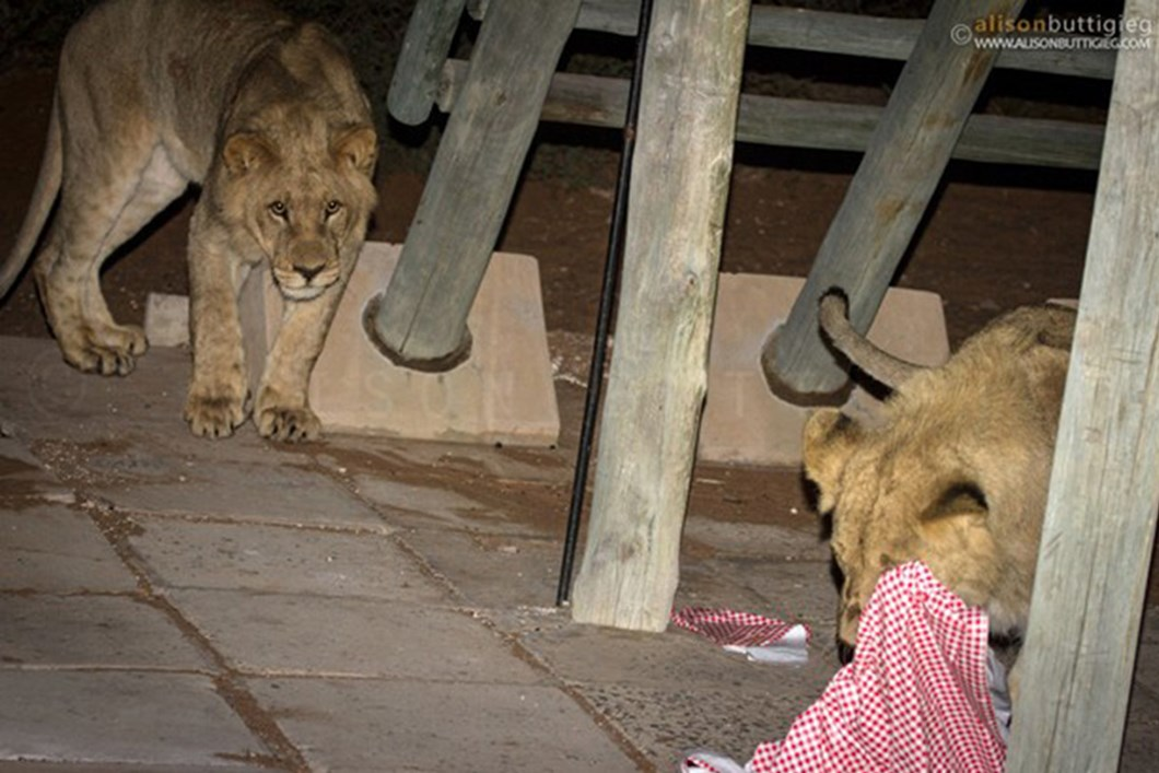 Lion plays with campsite tablecloth 02