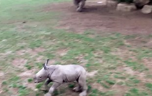 Baby rhino figures out running is awesome, can't stop doing it