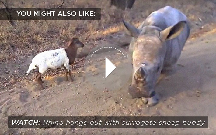 Rhino_sheep_buddy_related_2015_09_03
