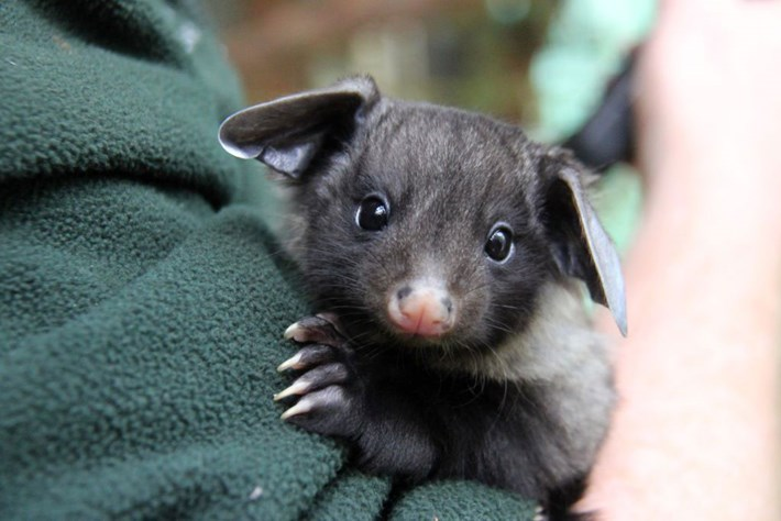 We had no idea how much we loved baby gliding possums until now
