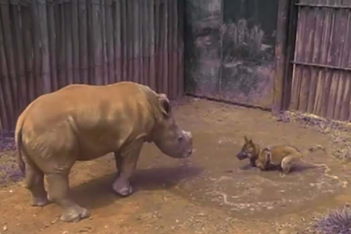 Puppy desperately wants his rhino sidekick to play in the mud (VIDEO)
