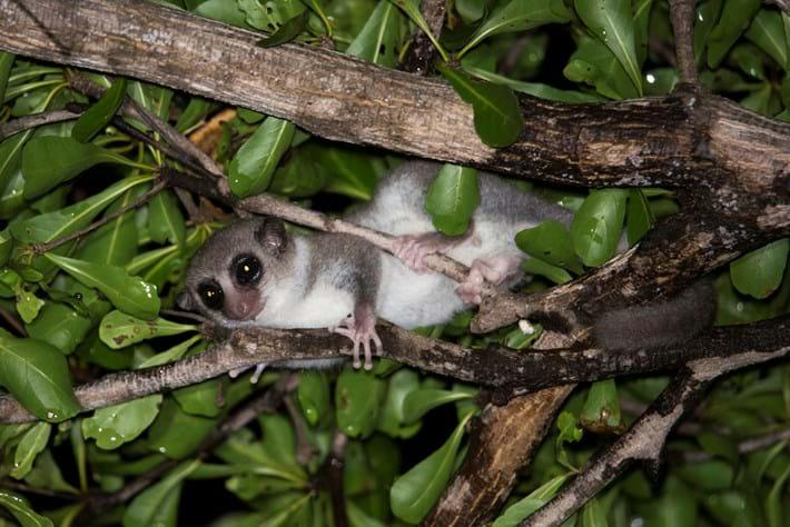 Dwarf Lemur _2