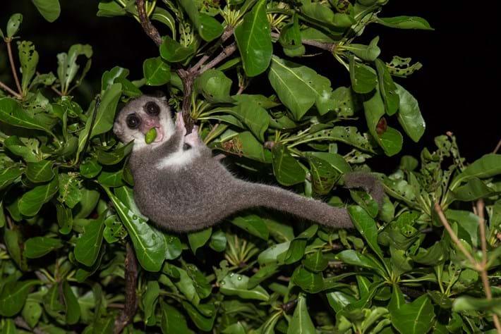 Dwarf Lemur1
