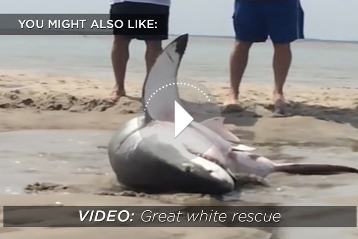 Great white rescue-related-2015-9-3