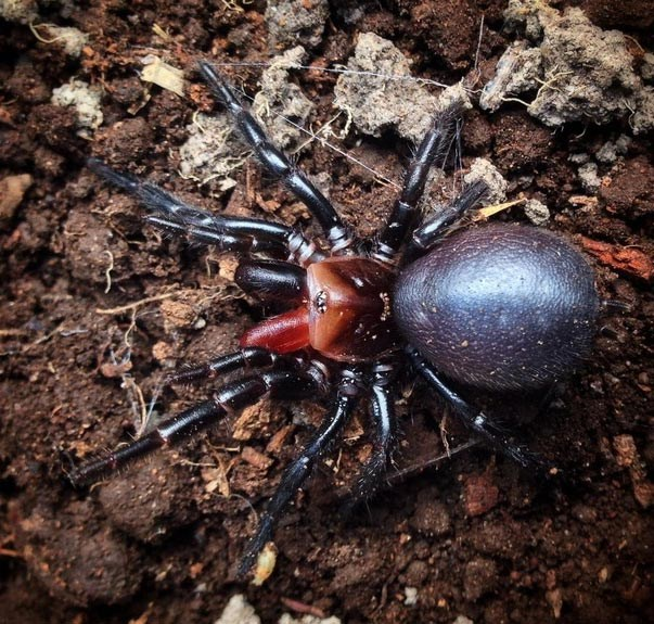 Red Fanged Spider 3 2015 09 08