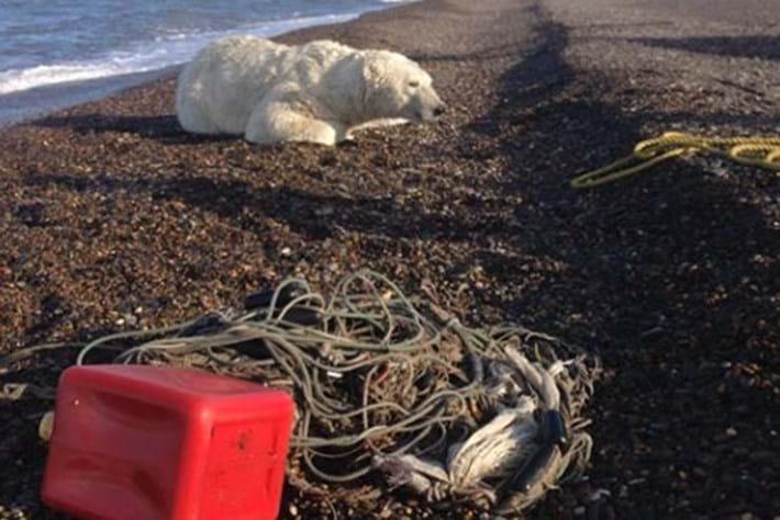 Polar -bear -rescue _2015_09_09