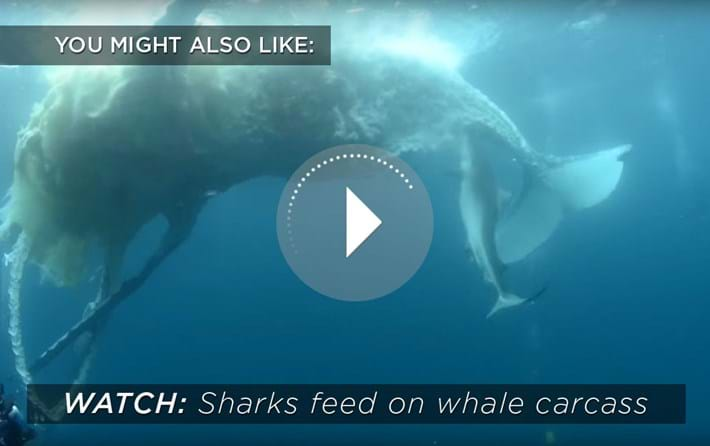 Sharks Feeding On Whale Related Content 2015 09 09