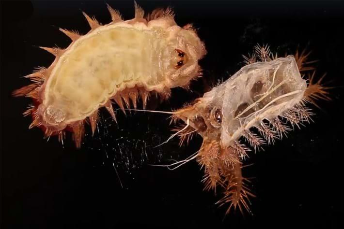 Caterpillar shedding 2015-09-11