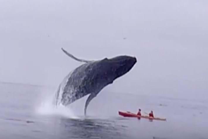 whale_kayak_breach_2015_09_14