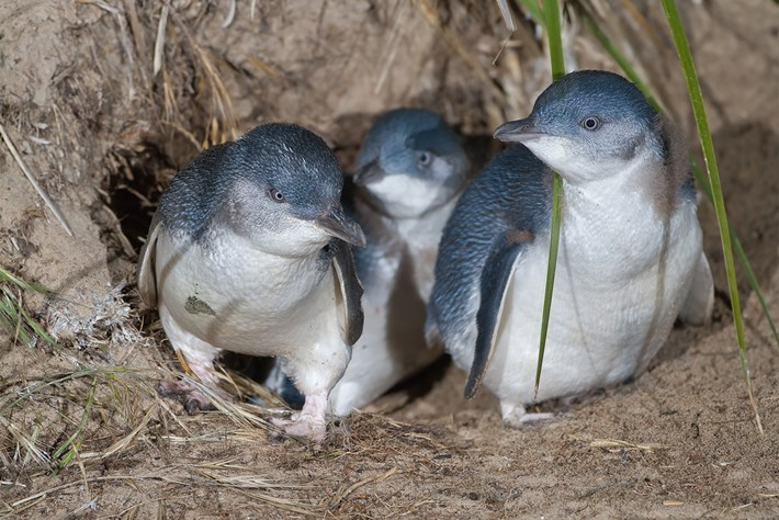 Blue Little Penguins 2015 09 15
